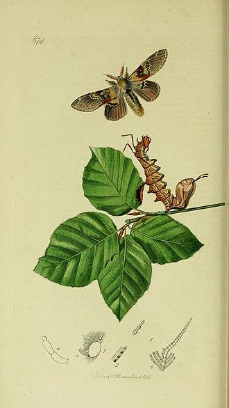 Lobster moth - Illustration from John Curtis's British Entomology Volume 5