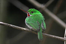 Broad billed tody 1.jpg