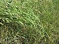 Bromus secalinus subsp. decipiens sl2.jpg