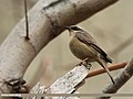 Brown Accentor (Prunella fulvescens) (15869578166).jpg