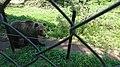 Brown Bear in Belitsa Park.jpg
