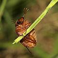 Brown Chafer male - Serica brunnea (21933795814).jpg