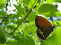 Brown on green (3668812970).jpg