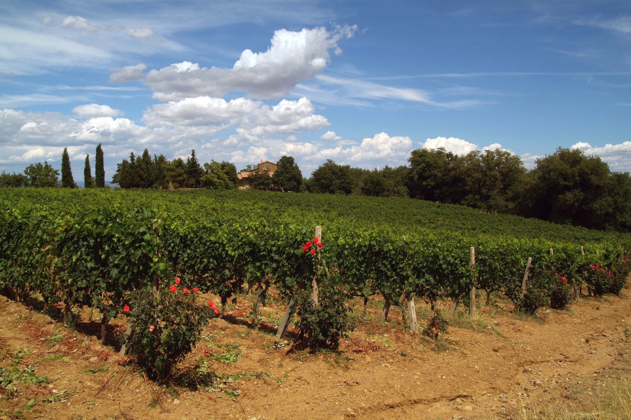 Brunello di Montalcino vines