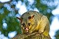 Brushtail Possum - AndrewMercer IMG40142.jpg