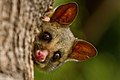 Brushtail Possum IMG 5017.jpg