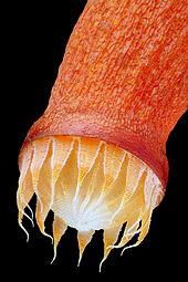 peristome teeth function