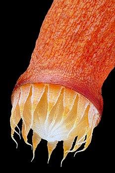 Péristome du sporophyte de la mousse Bryum capillare. (définition réelle 3288×4932)