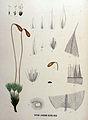 Bryum luridum — Flora Batava — Volume v16.jpg