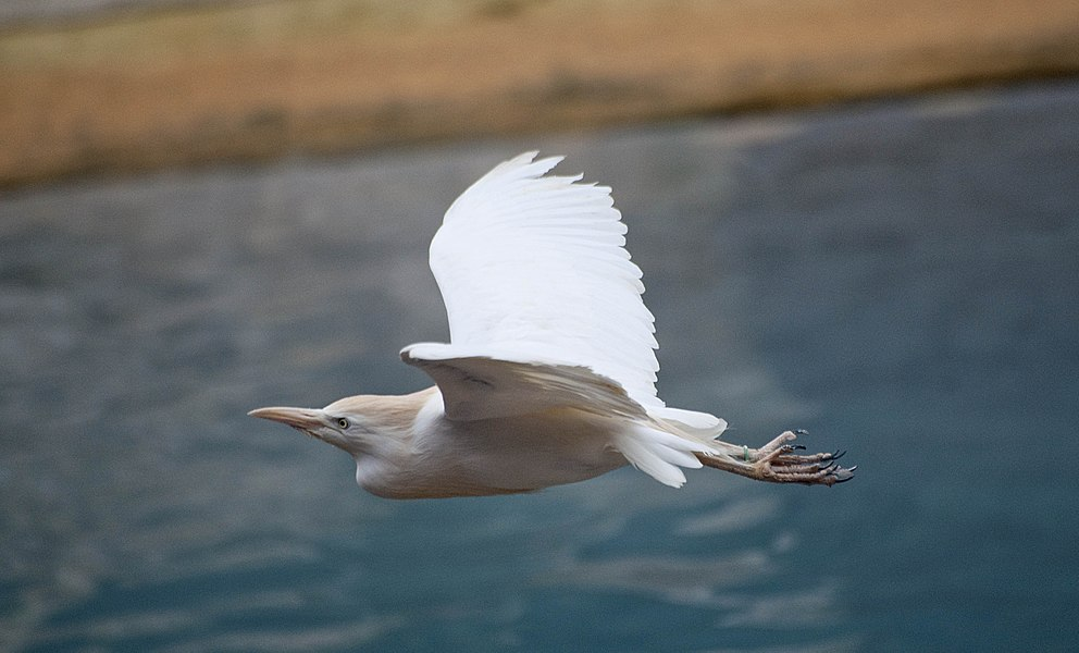 A Cattle Egret flying at Pont-Scorff Zoo, Morbihan, Brittany, France.