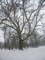 Bucuresti, Romania. Parcul Cismigiu. Copac secular care sfideaza vremurile. Cat este de semet in iarna. 28. 02. 2018.jpg