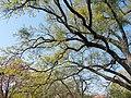 Budai Arborétum. Felső kert. Kocsányos tölgy (Quercus robur). - Budapest XI. kerület.JPG
