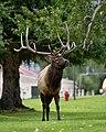 Bull Elk (50437233942).jpg