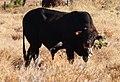 Bull chewing bone 2.jpg