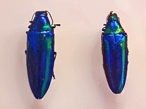 Chrysochroa rajah - Chrysochroa rajah from southern China, mounted specimen at National Museum (Prague)