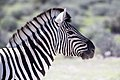 Burchell's zebra-5746 - Flickr - Ragnhild & Neil Crawford.jpg