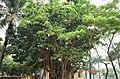 Cây cổ thụ trong sân Nghè Nhội, trên đường Trường Chinh, thành phố Hải Dương, tỉnh Hải Dương.jpg