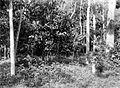 COLLECTIE TROPENMUSEUM Een 'vuile' cacaotuin met op de voorgrond onkruiden als Ageratum Synedrella Bidens Mimosa e.a. op onderneming Getas Midden-Java TMnr 10012234.jpg
