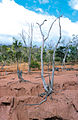 CSIRO ScienceImage 4503 Dead trees and tree stumps with exposed roots remain precariously balanced on ridges of soil as a result of dryland salinity and gully erosion near Charters Towers QLD.jpg