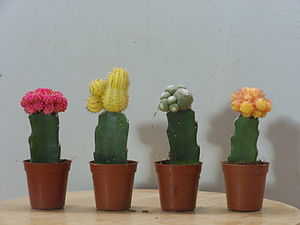 Floriculture - An example of floriculture: Cactus planting