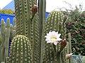 Cactus flower in Jardins de Majorelle in Marrakech.jpg