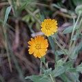 Calendula arvensis-Souci des champs-Fleurs-201903018.jpg