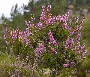 English: Photography of the flower Calluna vul...