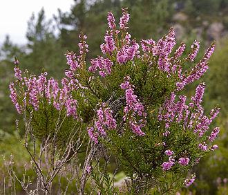 Calluna - Flowering Calluna vulgaris