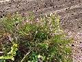 Calluna vulgaris 107991844.jpg