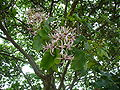 Calodendrum cape chesnut flowers.jpg