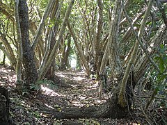 Calophyllum inophyllum in Bonin Islands.jpg