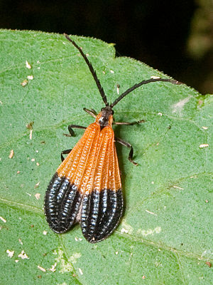 Müllerian mimicry - An aposematic lycid beetle, Calopteron terminale