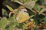 Calypso caper white (Belenois calypso calypso) female.jpg