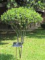 Camallia sinensis (Tea) tree in RDA, Bogra.jpg