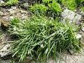 Camassia leichtlinii - Botanischer Garten Freiburg - DSC06447.jpg