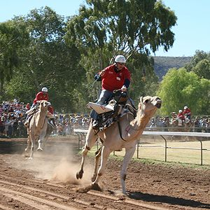 Camel racing - Camel racing during the 2009 Camel Cup held in Alice Springs