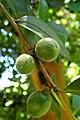 Camellia oleifera kz2.jpg