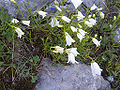 Campanula polymorpha a5.jpg