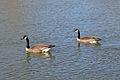 Canada Geese (Branta canadensis) - London, Ontario 01.jpg