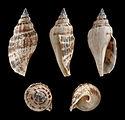 Canarium urceus f. typica 01.JPG