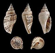 Canarium urceus f. typica 01