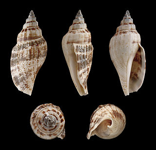 <i>Canarium urceus</i> species of mollusc