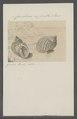 Cancellaria asperella - - Print - Iconographia Zoologica - Special Collections University of Amsterdam - UBAINV0274 084 05 0004.tif