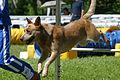 Cane in una prova di agility dog.jpg