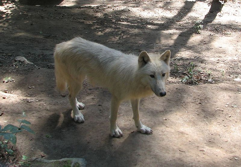 http://upload.wikimedia.org/wikipedia/commons/thumb/3/30/Canis.lupus.occidentalis-ZOO.Olomouc3.jpg/800px-Canis.lupus.occidentalis-ZOO.Olomouc3.jpg