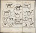 Canis lupus familiaris - 1700-1880 - Print - Iconographia Zoologica - Special Collections University of Amsterdam - UBA01 IZ22300023.tif