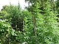 Cannabis sativa plant (11).jpg