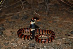 Cape Coral Snake, Aspidelaps lubricus, RsDSC 0417.jpg