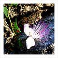 Caper flower.jpg