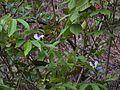 Capparis rheedei DC (5656911473).jpg